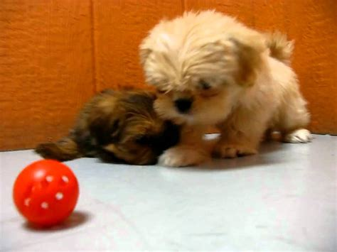 Lhasa, Apso,Puppies, For, Sale, In, Los Angeles