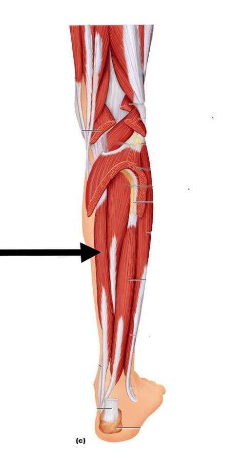 Level 8 - Lower Extremity Muscle - Anatomy and Physiology
