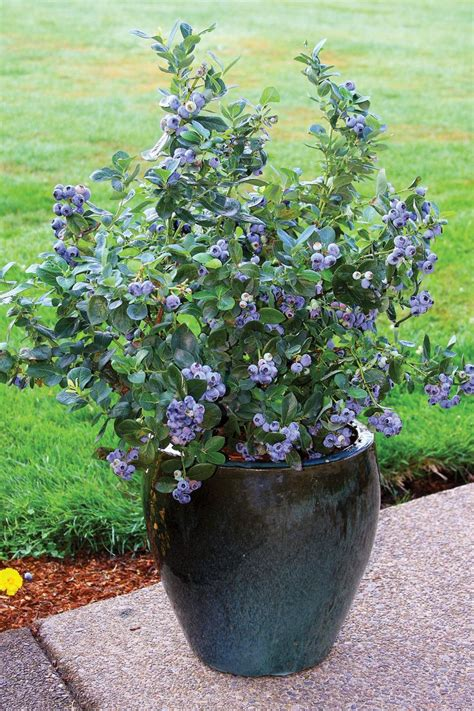 Blueberry bushes, planting & aftercare - Chris Bowers
