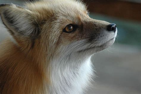 Adopt A Red Fox from World Animal Foundation