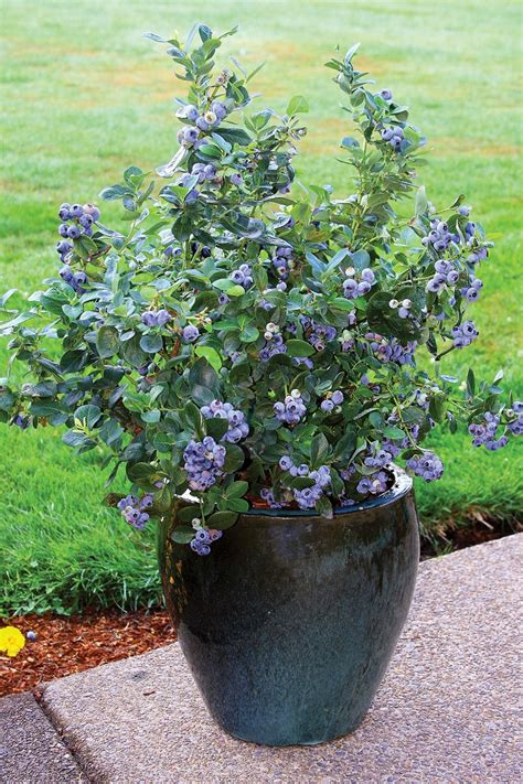 TOP 10 Tips for Growing Blueberries in the Home Garden