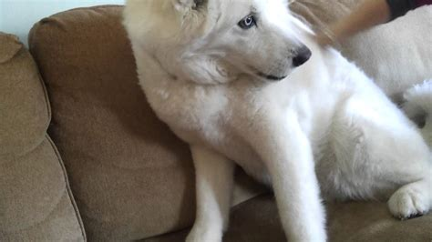 Husky/Akita Mix-Excited to have mom home - YouTube