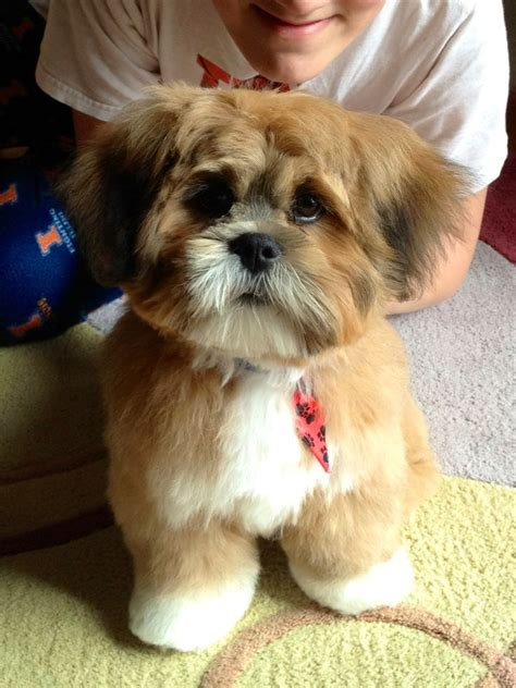 Adorable Lhasa Apso Pictures, Photos, and Images for