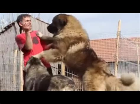 Caucasian Ovcharka - The Biggest Dog in the World - YouTube